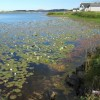 Waterlilies, Loch nan Clacha-mora