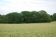 West Wood across a wheat field (2)
