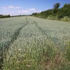 Wheat field at Great Whelnetham