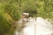Broom: a cow in the River Axe in Devon