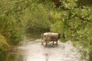 Broom: a cow in the River Axe in Dorset