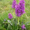 Early-purple Orchids flowering in Cressbrook Dale