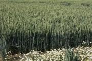 Stapleford wheat