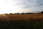 Wheat Field north of Powder Mill Lane (2)