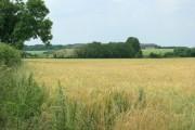 Barley near Stanton St. Quintin