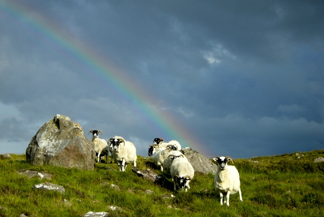 Rainbow sheep (2) near Cuaig.