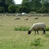 Sheep grazing by A14