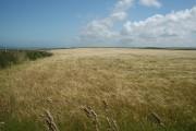 Above Traeth Llyfn: cornfield