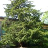 Robert Louis Stevenson's Tree, Colinton