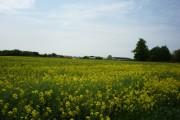 Field of rape near Pocklington airfield
