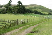 Sheep at pasture at Fulford