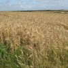 Arable farmland to the east of Ogmore-by-Sea