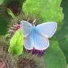 Common Blue Butterfly on Burdock, near Wilstone Reservoir