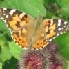 Painted Lady Butterfly on Burdock, near Wilstone Reservoir