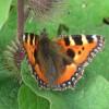 Small Tortoiseshell Butterfly on Burdock, near Wilstone Reservoir