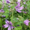 Common Mallow on the verge of the track to Wilstone Reservoir