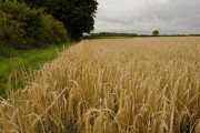 Barley on Lund Moor