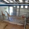 Paignton : Paignton Zoo, Giraffes