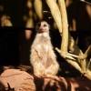 Paignton : Paignton Zoo, Meerkat