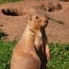 Paignton : Paignton Zoo, Prairie Dog