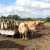 Cattle feeding in pasture by Beech Grove Farm