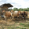 Cattle in pasture by Beech Grove Farm