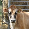 Portrait of a Guernsey heifer