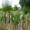 Bullrushes by the A46