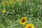 Sunflowers at field edge