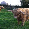Highland cattle, Gretna