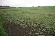 Oilseed rape, Blackhall