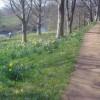 Springtime daffodils - 1