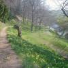 Springtime daffodils - 2
