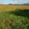 A field of maize near Mathon