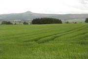 Barley field by Auchtermuchty