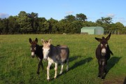 Donkeys in pasture, Padworth