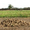 A sugar beet crop in field east of Ferry Road
