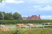 Cows at Wolds Farm