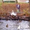 Feeding geese and ducks, Grand Union Canal near Sydenham estate