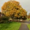 Oak in autumn splendour,  Ringland