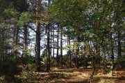 A stand of conifers by the Wealdway