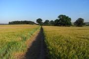 Footpath through barley near Amersham
