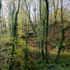 Beech wood near Taddiport