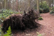Fallen tree on Nesscliffe Hill