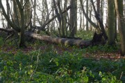 Woodland with fallen tree