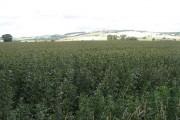 Bean crop