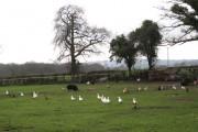 Livestock, Paddock Farm