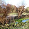 Re-pollarded willows, west bank of Whitnash Brook