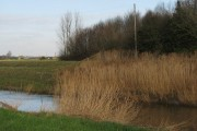 Reeds by the River Parrett