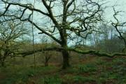 Wonderful old tree